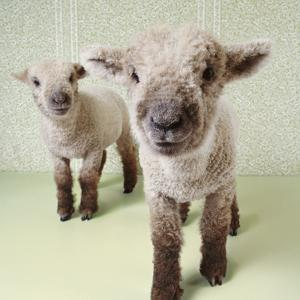Two Lambs Indoors with Floral Wallpaper by Digital Vision.