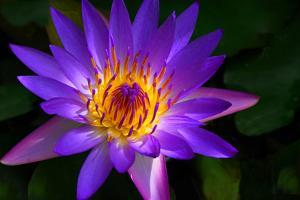 Panama Pacific Water Lily by digital94086