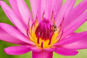 Water Lily by Digitalpress