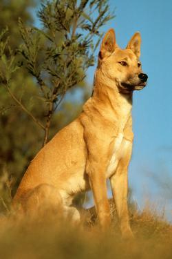 Dingo Adult Male