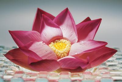 Pink Lotus Flower, India, Asia by Dinodia Photos
