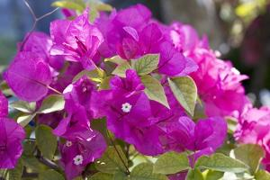 Bougainvillea Flowers by Dirk Wiersma