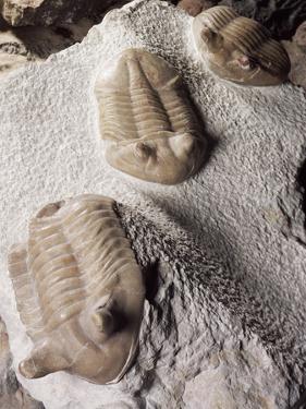 Fossiled Trilobites by Dirk Wiersma