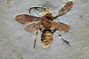 Wasp Fossil by Dirk Wiersma