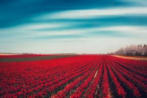 Tulips by Dirk Wuestenhagen