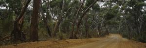 Dirt Road Passing through a Forest, Kangaroo Island, Australia
