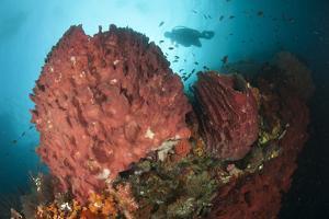 Diver Approaching Giant Barrel Sponge on a Reef, Raja Ampat