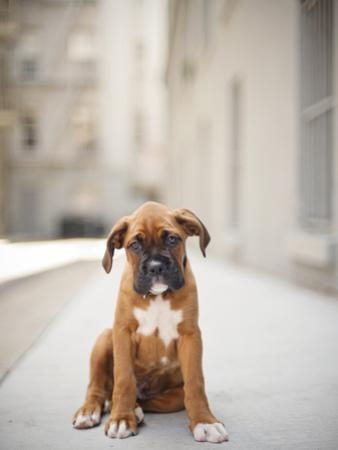 2 Month Old Boxer Puppy Standing in Alley by Diyosa Carter