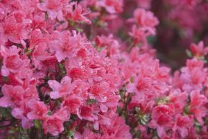 Usa, North Carolina, Asheville, Azalea Blossom by DKAR Images