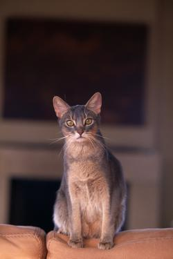 Abyssinian Blue Cat Sitting on Sofa by DLILLC