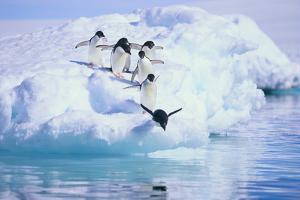 Adelie Penguin by DLILLC