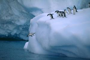 Adelie Penguins Jumping into Water by DLILLC