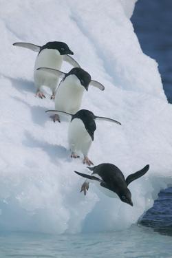 Adelie Penguins by DLILLC