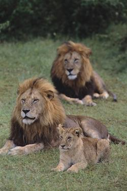 Adult Lions with Cub in Grass by DLILLC