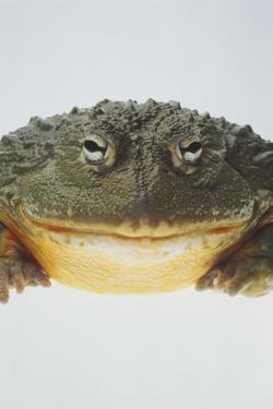 African Bullfrog by DLILLC