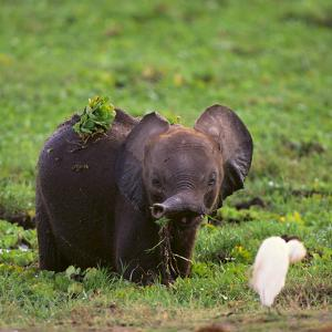 African Elephant Calf in Grass by DLILLC