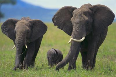 African Elephant Calf Walking between Adults by DLILLC