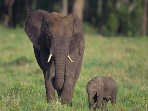 African Elephant Calf with Mother in Grass by DLILLC