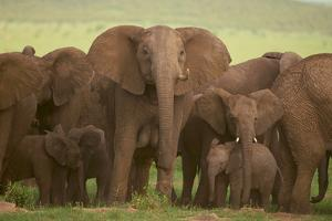 African Elephant Herd with Young by DLILLC