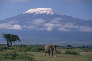 African Elephant Standing in Front of Mt. Kilimanjaro by DLILLC