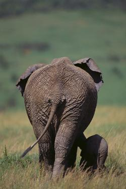 African Elephant Walking with Young by DLILLC