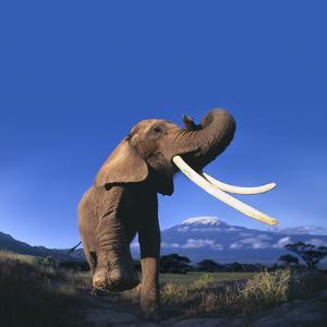 African Elephant by DLILLC