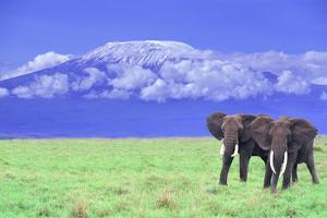 African Elephants near Mount Kilimanjaro by DLILLC
