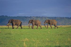 African Elephants Walking in Savanna by DLILLC