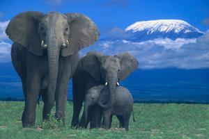 African Elephants with Calf by DLILLC