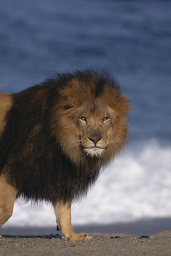 African Lion Standing on Beach by DLILLC
