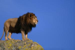 African Lion Standing on Boulder by DLILLC
