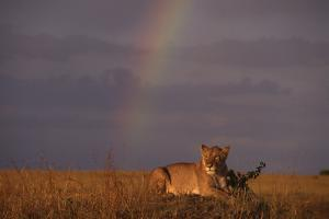 African Lioness and Rainbow by DLILLC