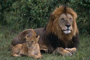 African Lions by DLILLC