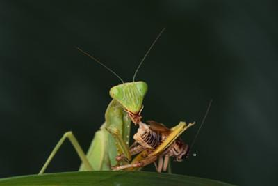 African Praying Mantis Eating a Bug by DLILLC