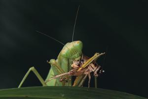 African Praying Mantis Eating a Bug by DLILLC