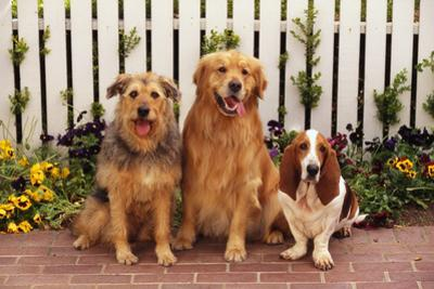 Airedale Mix, Golden Retriever and Basset Hound by DLILLC