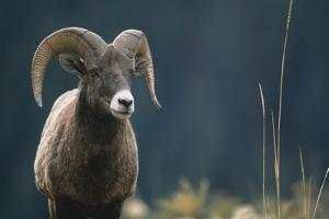 American Bighorn Sheep by DLILLC