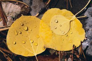 Aspen Leaves by DLILLC
