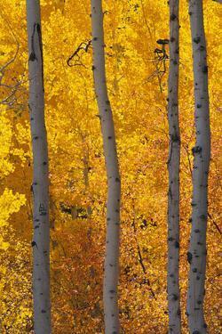 Aspen Trees by DLILLC