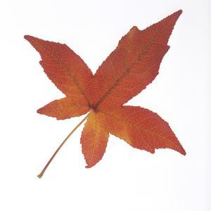 Autumn Leaf from Sweet Gum Plant by DLILLC