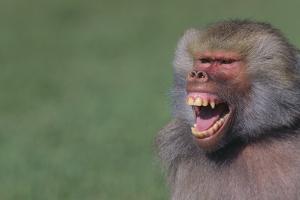 Baboon Baring Teeth by DLILLC