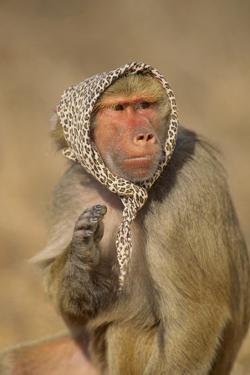 Baboon in Headscarf by DLILLC