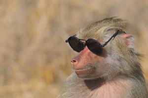 Baboon in Sunglasses by DLILLC