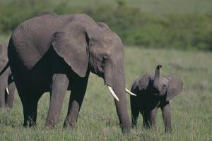 Baby Elephant Trumpeting at Mother by DLILLC