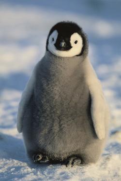 Baby Emperor Penguin by DLILLC
