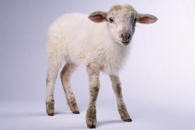 Baby Lamb by DLILLC