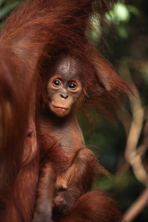 Baby Orangutan Clinging to its Mother by DLILLC