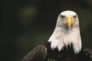Bald Eagle by DLILLC