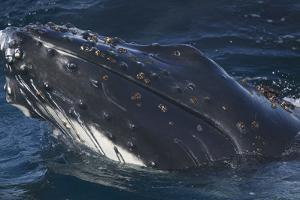 Barnacle Covered Mouth of Humpback Whale by DLILLC