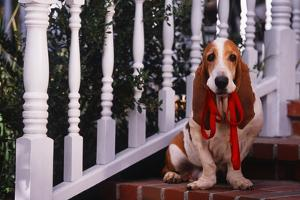 Basset Hound Holding His Leash by DLILLC